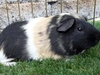 Guinea Pig - Ryker - Medium - Young - Male - Small &