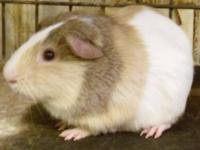 Guinea Pig - Simon - Small - Young - Male - Small &
