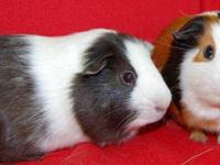 Guinea Pig - Smokey & Alex - Small - Adult - Male Hi.
