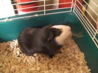 Guinea Pig - Smores - Small - Young - Male - Small &