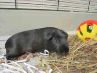 Guinea Pig - Snickers - Medium - Senior - Male - Small