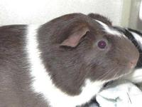 Guinea Pig - Snowbubble - Medium - Adult - Male - Small