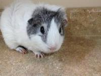 Guinea Pig - Stanley - Small - Adult - Male - Small &