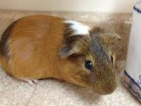 Guinea Pig - Stewie - Small - Adult - Male - Small &