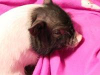 Guinea Pig - Sweetheart - Medium - Adult - Female