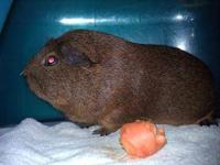 Guinea Pig - Tommy - Small - Adult - Male - Small &