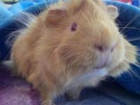 Guinea Pig - Valentino (private Adoption) - Small -