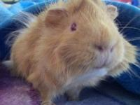 Guinea Pig - Valentino (private Adoption) - Small -
