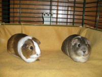 Guinea Pig - Wendi & Willow - Small - Young - Female