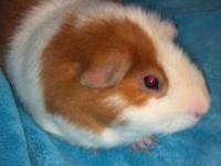 Guinea Pig - Willy - Small - Adult - Male - Small &