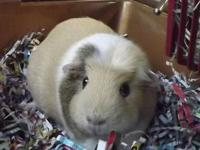 Guinea Pig - Winnie (the Guinea) - Medium - Senior -