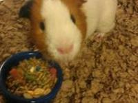 Guinea Pig - Wonder - Small - Young - Small & Furry