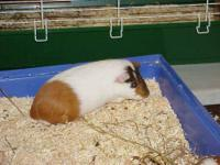 Guinea Pig - Young Guinea Pigs - Medium - Young - Male