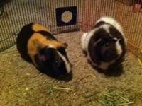 Two male guinea pigs...all accessories needed. Food and