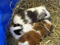 I have guniea pig babies for sale, all colors some are