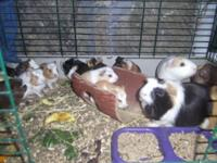 I have been breeding Guinea Pigs my whole life. They