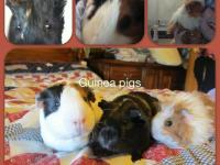 I have to give up 4 super cute adorable loving guinea