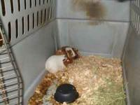I have three Guinea Pigs free to a good home  Location: