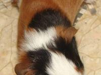 Hello~ I have a bunch of Guinea pigs for adoption!