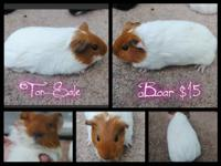 I adopted two guinea pigs from a local shelter and the