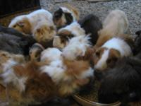The guinea pig (Cavia porcellus), also called the cavy,