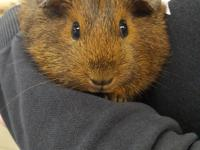 We have guinea pigs!  Bonded pairs or trios of males