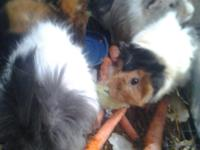 currently have 7 Guinea pigs available- 4 females & 3
