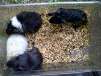 I have rescued several Male Guinea pigs friends helped