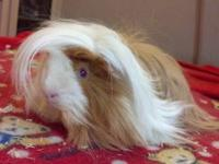 We have to find new homes for our 4 guinea pigs, they