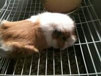 i have 5 guinea pigs up for rehoming i have 3 males 2
