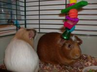 2 adorable female guinea pigs, one is brown and the