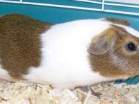 Guinea Pig - A1668343 - Small - Adult - Male - Small &