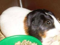 Guinea Pig - A1668345 - Small - Adult - Female - Small