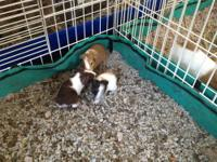 There are a total of 8 guinea pigs, age 1 week - 4