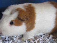Guinea Pig - Brody - Small - Adult - Male - Small &