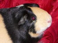 Guinea Pig - Bugsy - Medium - Adult - Female - Small &