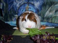 Guinea Pig - Chip (neutered) - Large - Adult - Male I