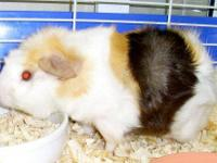 Guinea Pig - Frisbee - Small - Young - Male - Small &