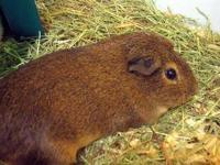 Guinea Pig - Jeter - Small - Adult - Male - Small &