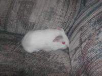 Guinea Pig - Lola - Small - Baby - Female - Small &
