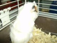 Guinea Pig - Millie And Cici - Small - Young - Female