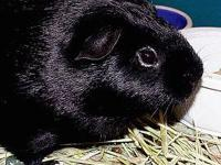Guinea Pig - Patton - Small - Adult - Male - Small &