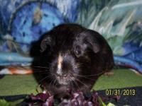 Guinea Pig - Pepper - Large - Adult - Female - Small &