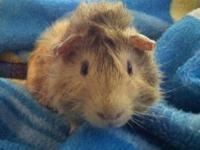 Guinea Pig - Row (private Adoption) - Small - Young -