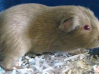 Guinea Pig - Snow - Medium - Young - Male - Small &