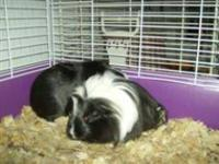 Guinea Pig - Snowball - Small - Adult - Male - Small &