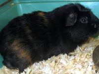 Guinea Pig - Snuggles - Large - Adult - Female - Small