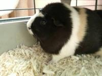 Guinea Pig - The Power Puff Pigs! - Small - Young -