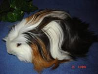 I have male and female adult guinea for sale, different