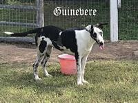 Guinevere's story This mini Great Dane is the